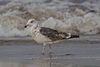 Great black-backed gull Larus marinus third-winter.jpg