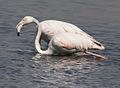 Greater Flamingo, Phoenicopterus roseus at Marievale Nature Reserve, Gauteng, South Africa (9708411697).jpg