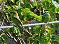 Green Bee-eaters (5491597736).jpg