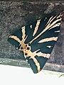Grenchen - Euplagia quadripunctaria.jpg