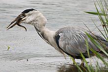 Grey Heron Wikipedia
