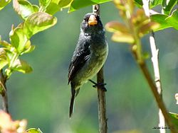 Grey Seedeater (Sporophila intermedia) (5358900278).jpg