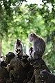 Grey macaques Gathering.jpg