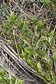 Grindelia integrifolia 6189.JPG