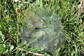 Ground Spider Web.jpg