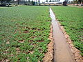 Groundnut peanut ditch irrigation.jpg