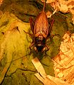 Gryllus-bimaculatus-006.jpg