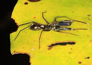 <i>Diolenius</i> genus of arachnids