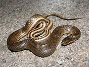 Gulf Crayfish Snake.jpg