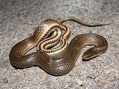 240px gulf crayfish snake