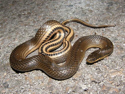 500px gulf crayfish snake