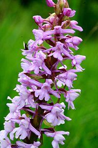 Gymnadenia conopsea ENBLA01.jpg