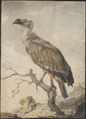 Gyps fulvus - 1776 - Print - Iconographia Zoologica - Special Collections University of Amsterdam - UBA01 IZAA100092.tif