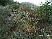 Gypsophila tekirae.jpg