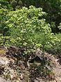 Gyrocarpus americanus individual.jpg