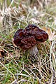 Gyromitra esculenta (46675791074).jpg