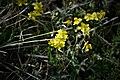 Hélianthemum nummularium. Crêt des Roches. (2).jpg