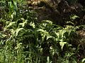 H20130318-7082—Polypodium calirhiza—Mitchell Canyon (8591813884).jpg
