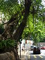 HK 般咸道 Bonham Road banyan trees July 2016 nearby HKU 001.jpg