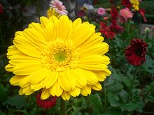 HK Sheung Wan Hollywood Road Park Flower in Yellow.JPG