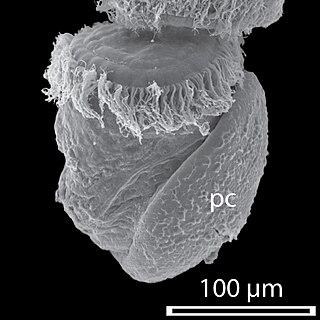 Protoconch