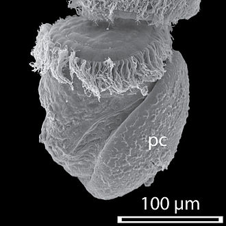 Protoconch - An SEM image of the trochophore of Haliotis asinina 11 hours post fertilization, with calcified protoconch (pc) prior to torsion.