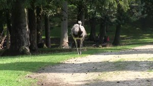 File:Haltern - Naturwildpark Granat - Rhea americana 03 (1) ies.webm