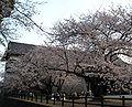 Hanami Kumamoto Castle.jpg