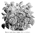 Haricot nain blanc Unique Vilmorin-Andrieux 1904.png