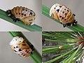 Harmonia quadripunctata pupa collage.jpg