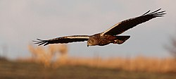Harrier African Marsh 2013 08 08.jpg
