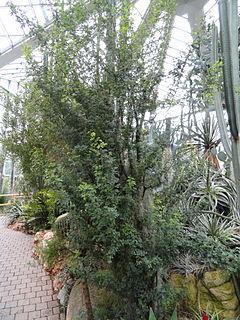 <i>Havardia</i> genus of plants