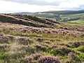 Heather on Muselee Hill - geograph.org.uk - 541821.jpg