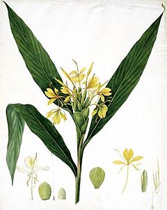 Hedychium coccineumby William Roscoe 1828