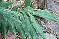 Hedychium villosum 1zz.jpg