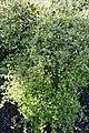 Helichrysum lanceolatum kz07.jpg