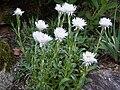 Helichrysum lingulatum.jpg