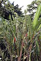 Heliconia rostrata 20zz.jpg
