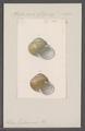 Helix tukanensis - - Print - Iconographia Zoologica - Special Collections University of Amsterdam - UBAINV0274 089 01 0088.tif