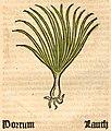 Herbarius Porrum.jpg