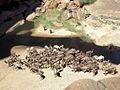 Herds of Camels (23915291659).jpg