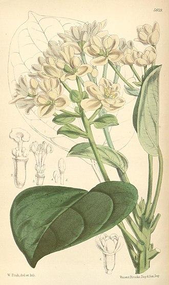 Hernandiaceae - Hernandia moerenhoutiana