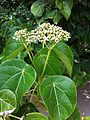 Hernandia nymphaeifolia flowers Beqa Fiji 1.jpg