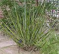 Hesperaloe funifera whole.jpg