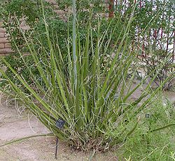 Hesperaloe funifera whole.jpg