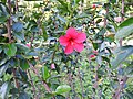 Hibiscus rosa sinensis hybrid-15-hanuman temple-muluvi-yercaud-salem-India.jpg