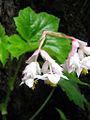 Hillebrandia sandwicensis.jpg