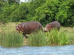 Hippopotamus in Murchison Falls National Park.JPG
