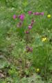 Hoher Vogelsberg Hoherodskopf Geranium.png