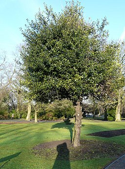 Holly Tree in Vernon Park - geograph.org.uk - 1128589